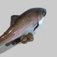 Fresh Water Fish sculpture statue statuettes by sculptor artist Christian Lancaster titled: 'Rainbow Trout (Realistic Lifelike sculptures)' in Lime wood